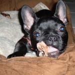 französische bulldogge essen probleme