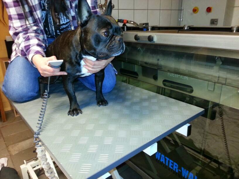 französische bulldogge physio unterwasserlaufband