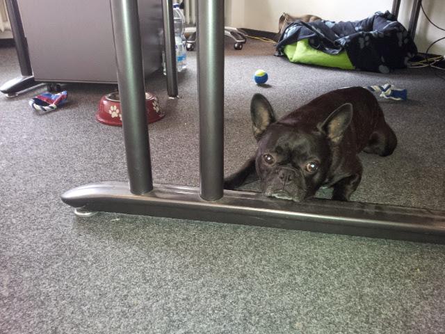 MIt einer französischen Bulldogge im Büro.