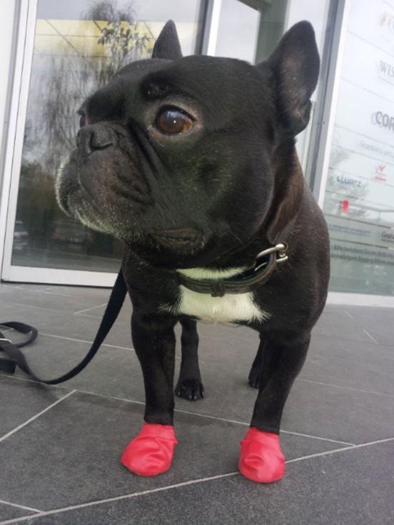 hund-pfotenschutz: pawz produkttest