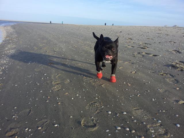 bulldogge Bandscheiben vorfall