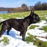 madox französische bulldogge