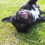 französische Bulldogge blog