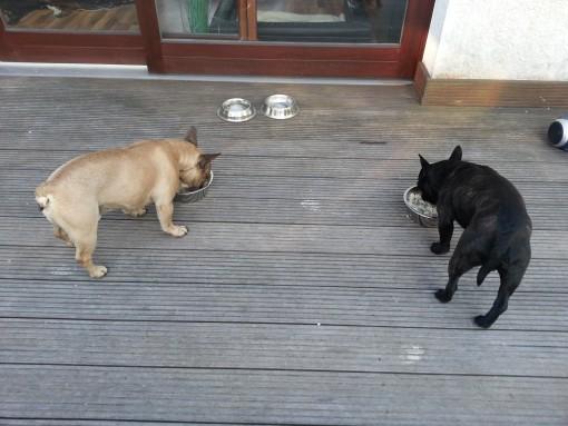 französische Bulldogge mit und ohne rute
