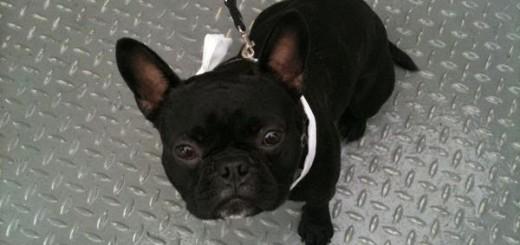 bandscheibenvorfall erfahrung bulldogge