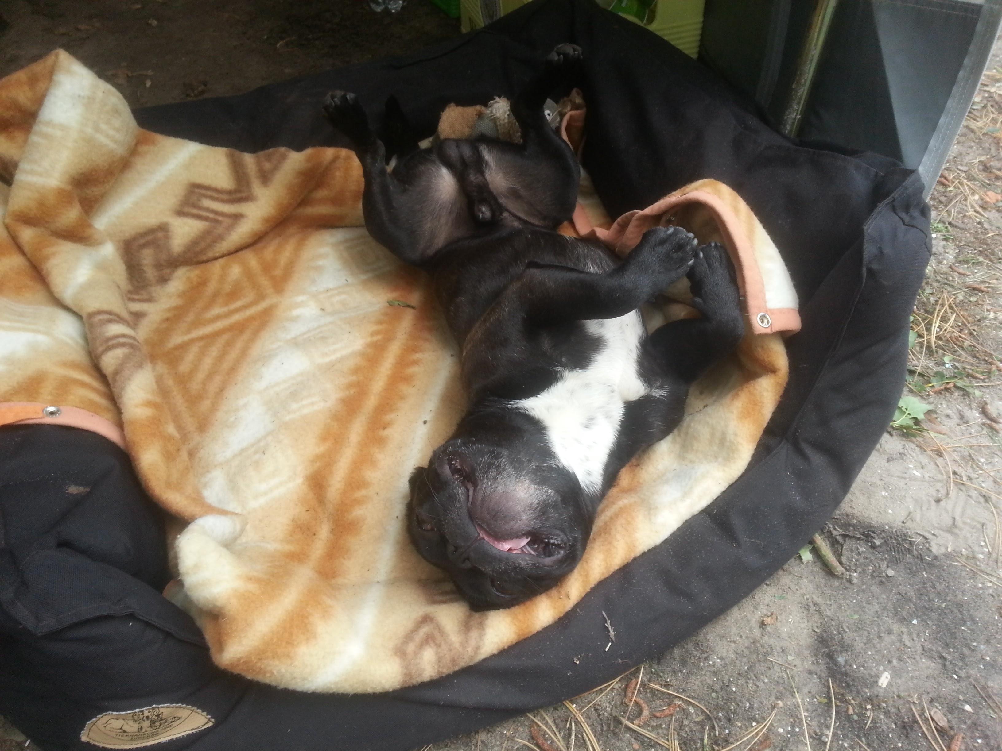 sturm in den haag franz sische bulldogge madox r umt auf. Black Bedroom Furniture Sets. Home Design Ideas