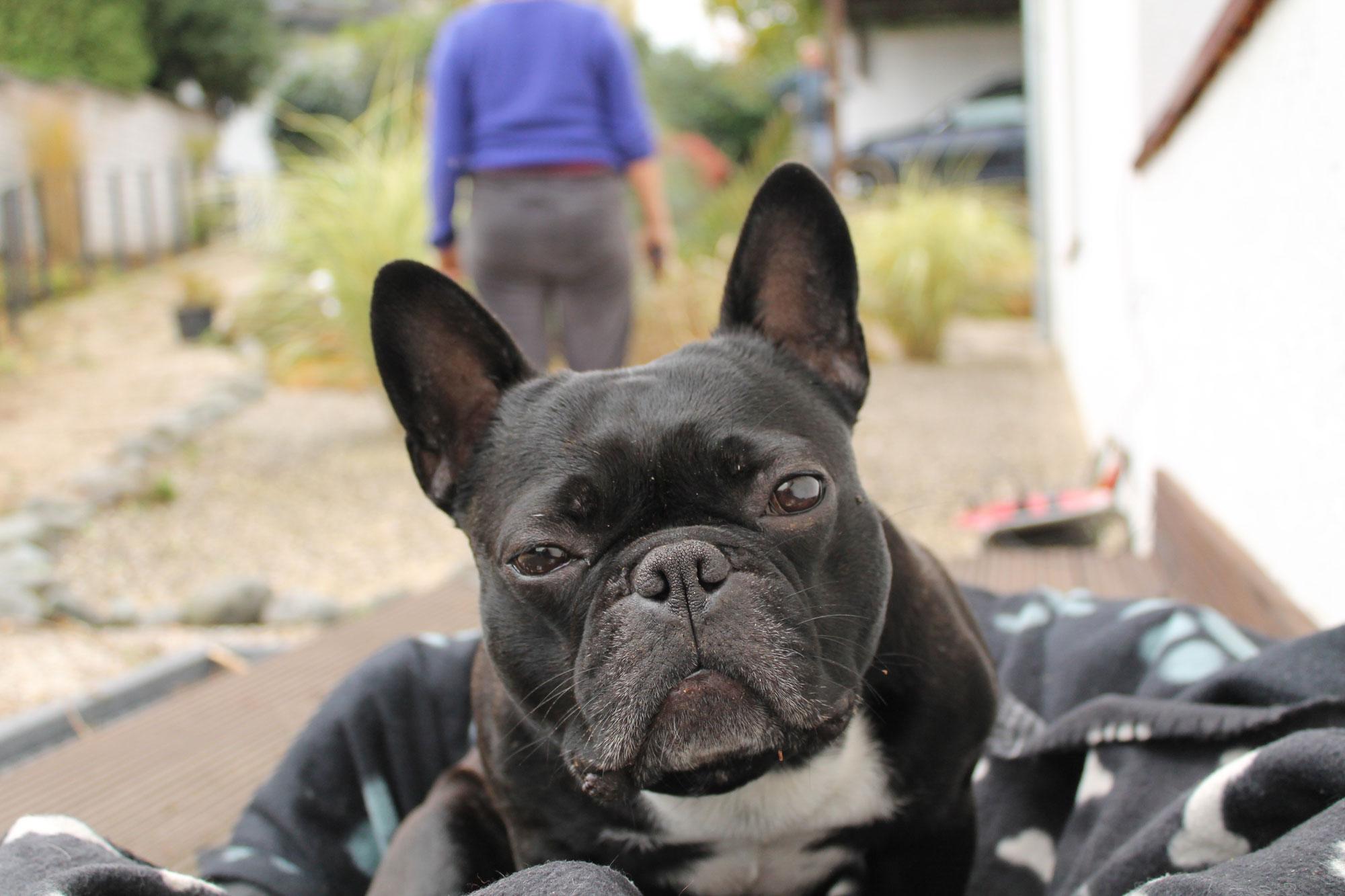 frenchie madox bulldogge shar-pei