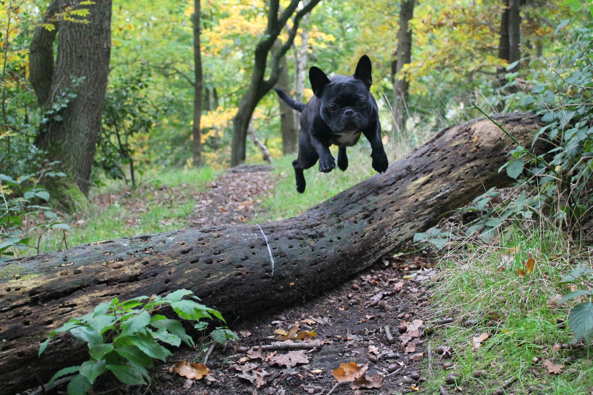 Französische Bulldogge wald fliegen