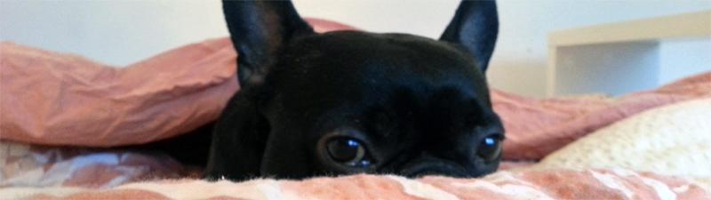 madox-bulldogge-schlafen