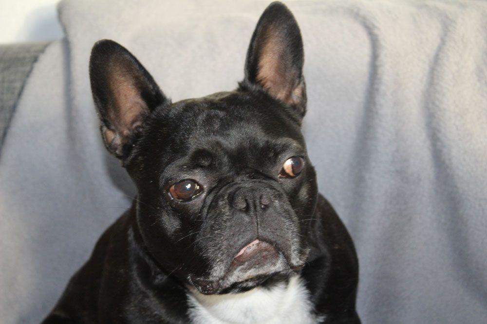 bulldogge skeptisch