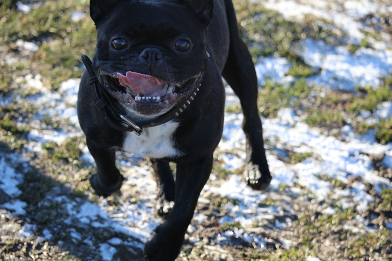 Bulldogge schnee rennen silvester