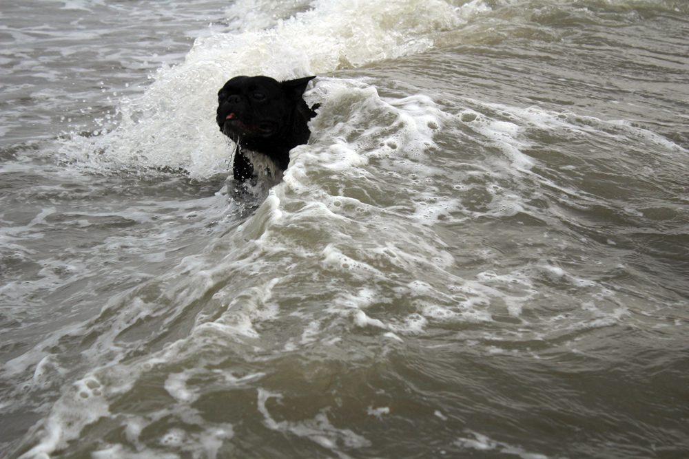 bulldogge hund meer